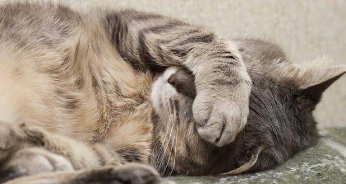 Kedilerde Kızgınlık Dönemleri ve Davranışları