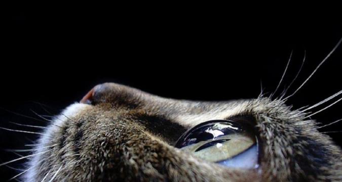 Kedilerin Gözleri Nasıl Temizlenir?