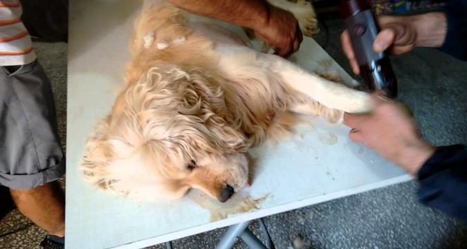Köpeğimizi Traş Ettirmek Zararlı Mıdır?