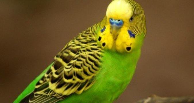 Muhabbet Kuşları Neden Depresyona Girer?
