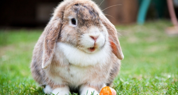 Tavşan Yıkanır mı?