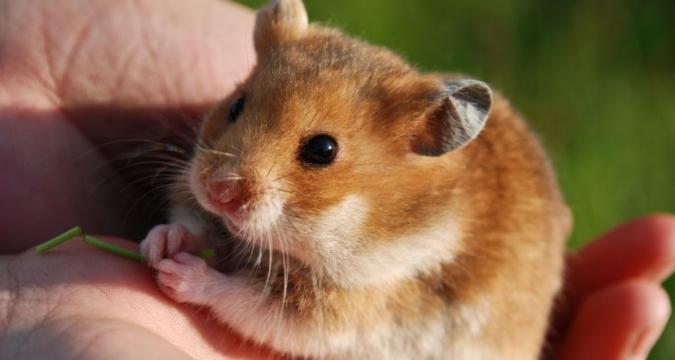 Hamster Nasıl Beslenir?