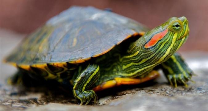 Su Kaplumbağası Bakımı Nasıl Olmalıdır ve Nelere Dikkat Edilmelidir?