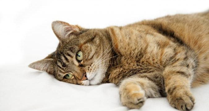 Kedilerde İshal Belirtileri ve Tedavisi