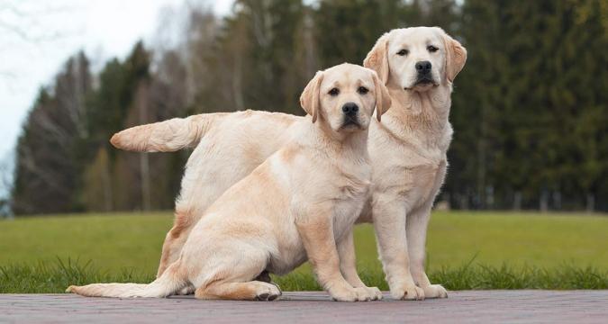 Köpeklerde Regl Dönemi ve Yapılması Gerekenler Nelerdir?