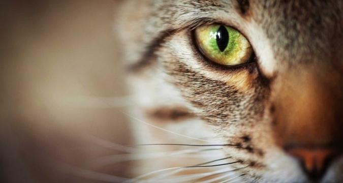 Yenidoğan Yavru Kedilerde Göz Enfeksiyonu