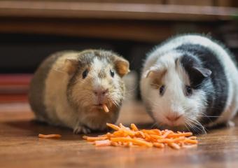 Hamster İçin Zararlı Yiyecekler
