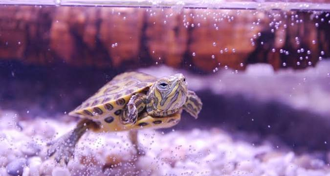 Evcil Kaplumbağanız Hastalık Yayabilir!