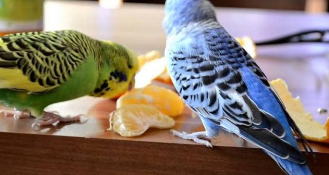 Muhabbet Kuşlarına İyi Gelmeyen Yiyecekler