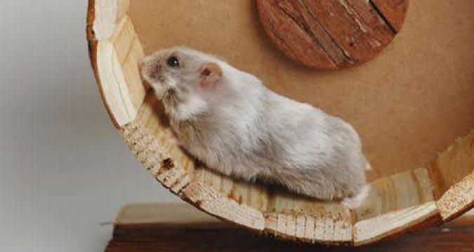 Hamster'ların Ortalama Yaşam Süreleri