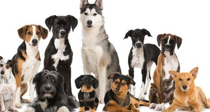 En Sosyal Köpek Irkları