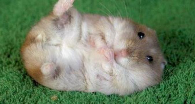 Hamsterlar da Depresyona Girer!