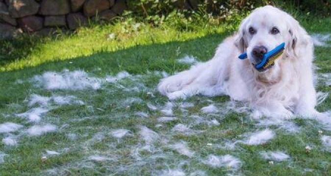 Köpeklerin Tüy Dökme Mevsimi