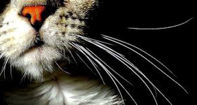 Kedilerin Denge Durumu ve Bıyıklar