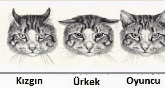 Kedilerin Kulak Hareketleri Çok şey Anlatıyor