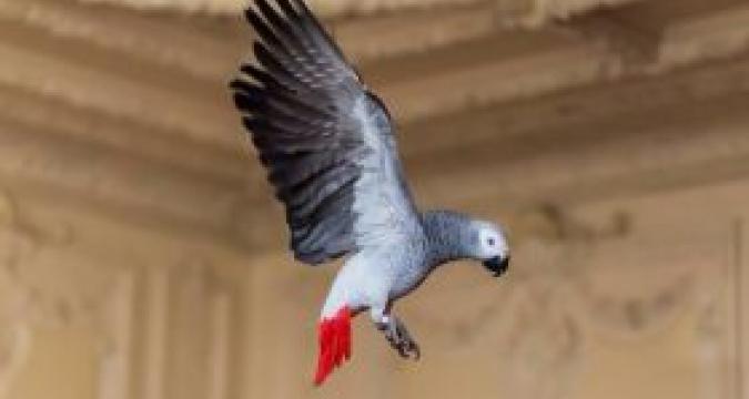 Afrika Gri Papağanını Çok Seveceksiniz!