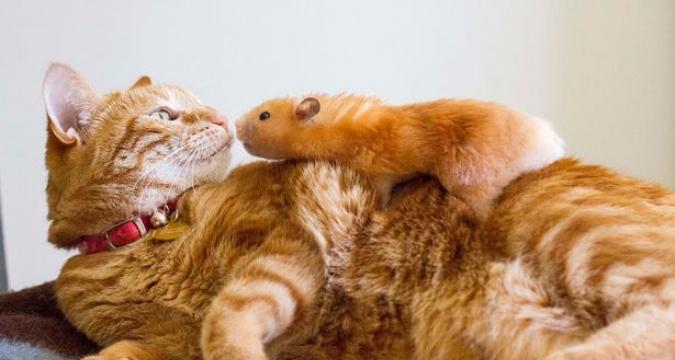 Kediniz ve Hamsterınız Bir arada Yaşayabilir Mi?