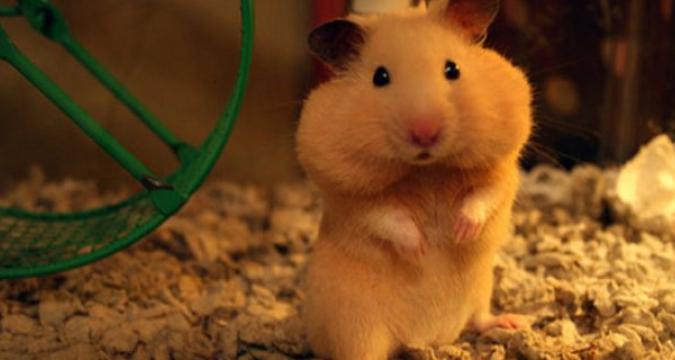 Hamster Beslerken Bu Yanlışları Yapmayın!