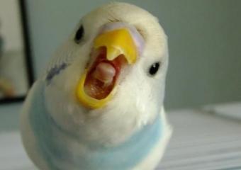 Muhabbet Kuşlarının Ötmeyi Bırakması!